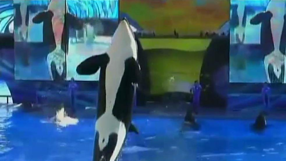 Townhall Political Editor Guy Benson, National Review Reporter Katherine Timpf and FNC contributor Pete Hegseth on SeaWorld's decision to end its orca breeding program.