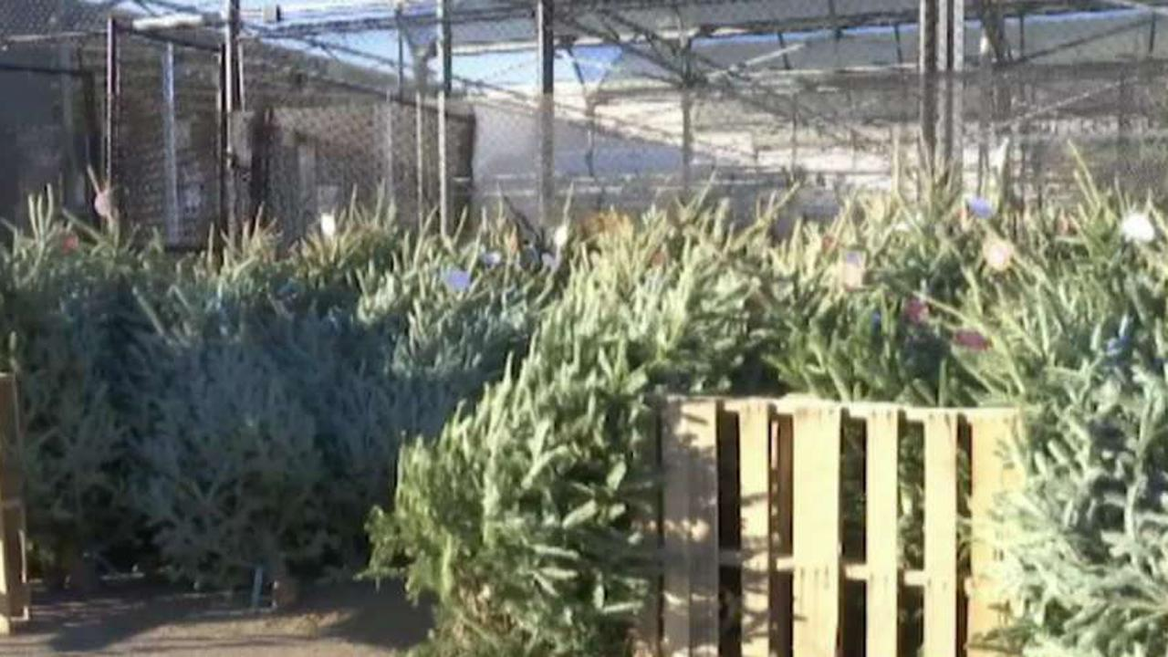 Cedar Ravine Tree Farm in El Dorado, Calif. Co-Owner Erik Schoennauer discusses how his Christmas farm was robbed before Thanksgiving.