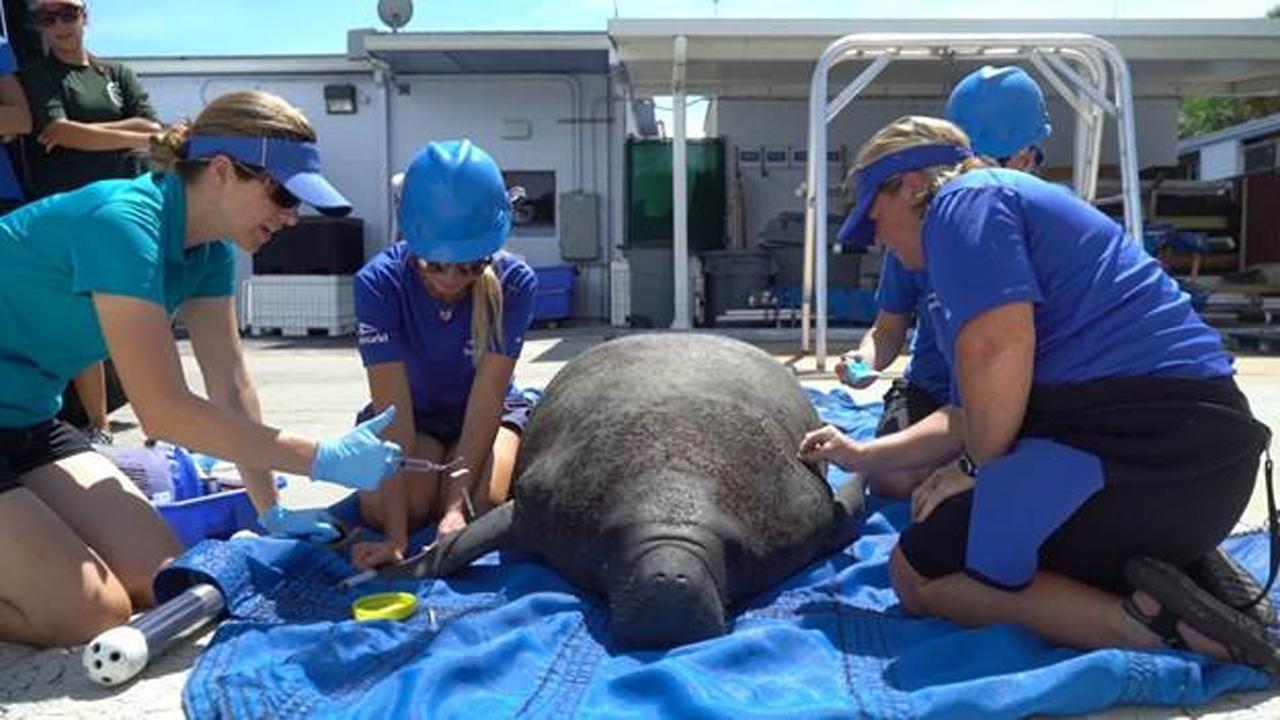SeaWorld is helping to rescue manatees in Florida that have been exposed to the deadly red tide toxic algae bloom. FBN's Susan Li with more.