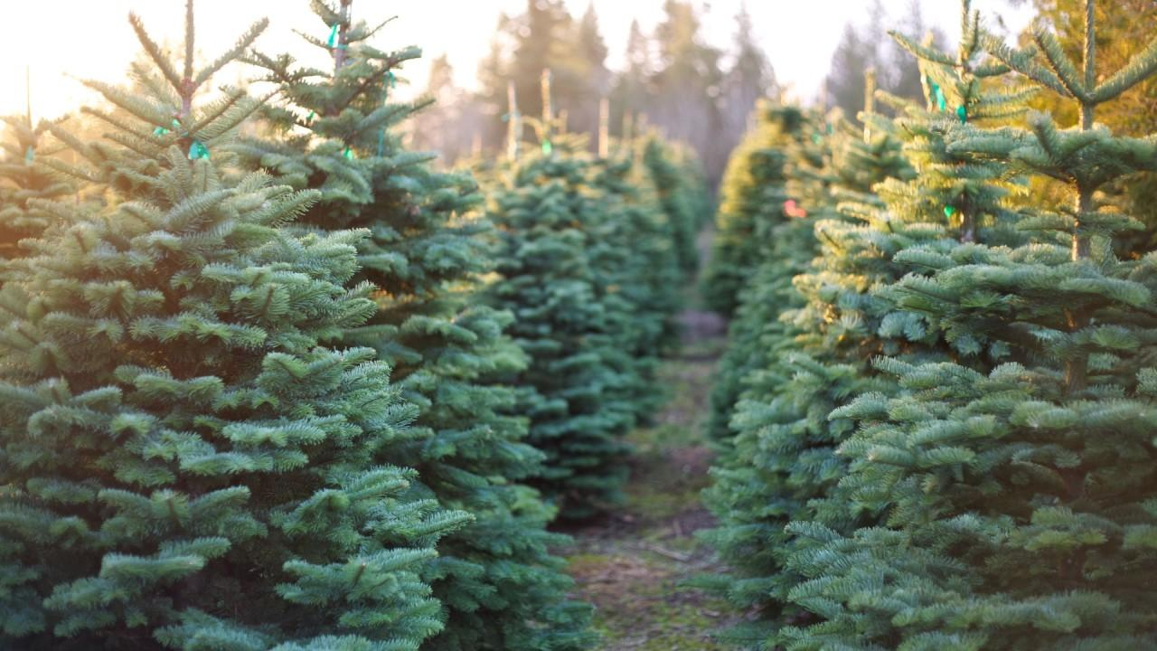 More Americans are opting for real Christmas trees this year. FOX Business' Jeff Flock with more.